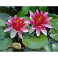 Nymphaea Attractions