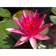 "Nymphaea ""Red Spider"""