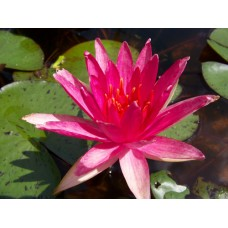 """Nymphaea """"Red Spider"""""""