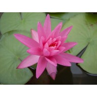 "Nymphaea ""Rose Arey"""