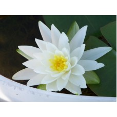 Nymphaea White